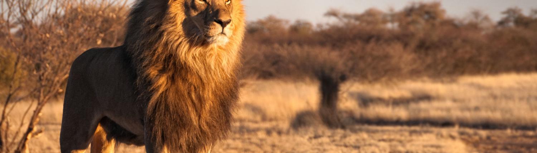 Male Lion in Zimbabwe
